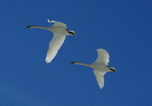 2 Swans Flying