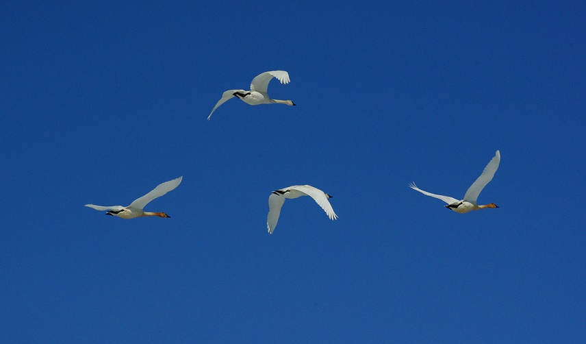 4 swans flying